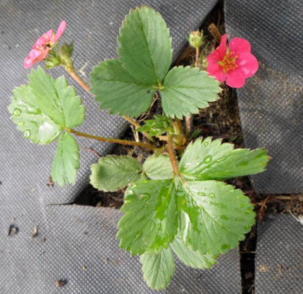 Первая зимовка. 13 мая... земляника садовая Тоскана цветет